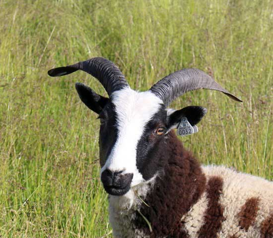 jacob sheep ewes for sale